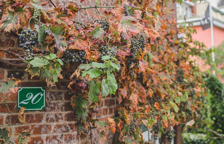 Увитая виноградом стена в Треппенфиртеле, Бланкенезе, Гамбург