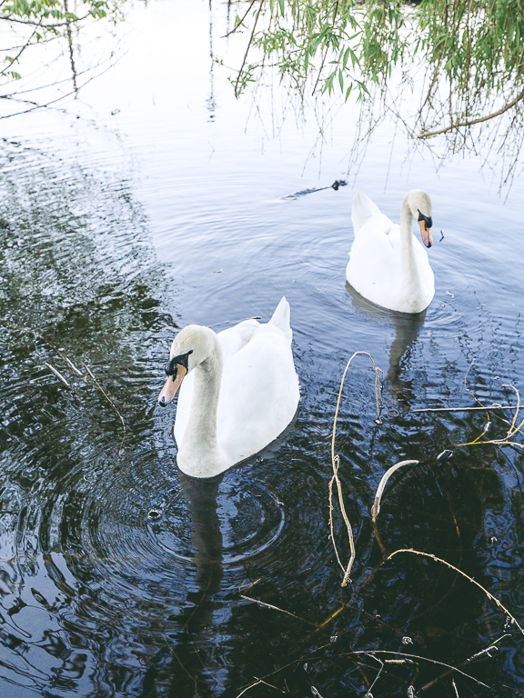 Лебединая пара на Альстере, Гамбург