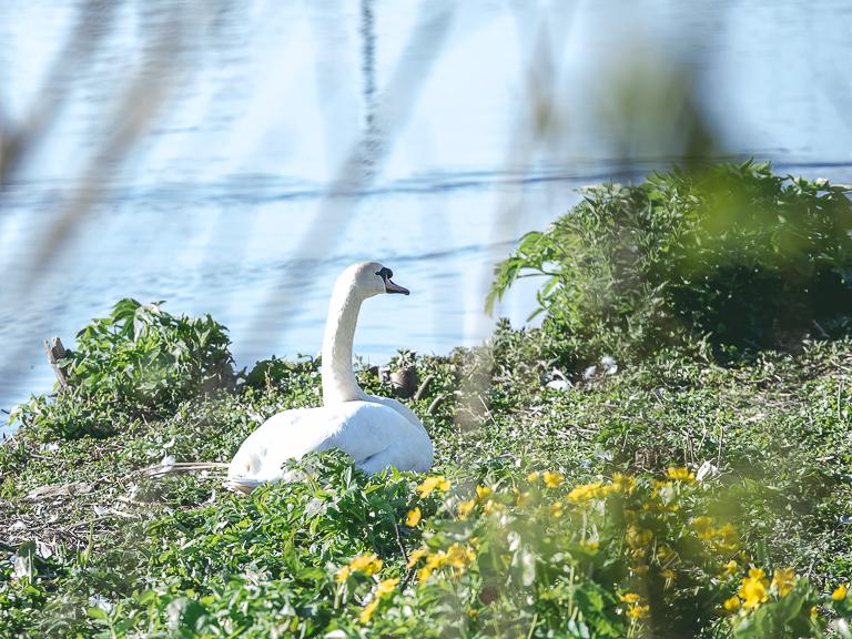 Самка лебедя на гнезде в Гамбурге