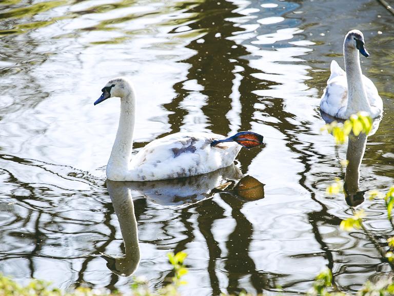 Молодые лебеди на Альстере